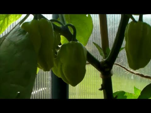 Chilli plant types varieties being grown by the Chili Club