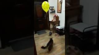 Как надолго отвлечь кота!? Берем кота, шарик и...