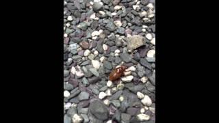 セミの幼虫が歩いているのを初めてみた。