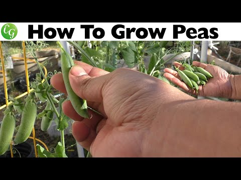 Winter Veggies - Growing Shelling Type Green Peas