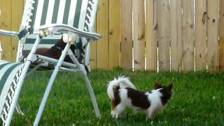 tiny chihuahuas attack cat lounging on the chair