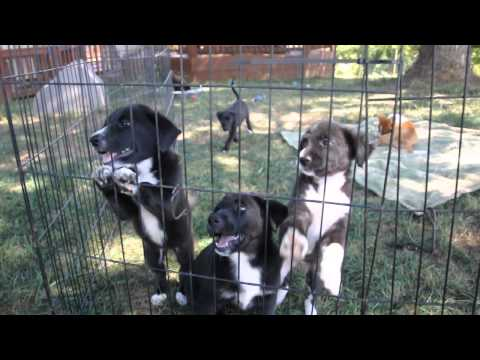 Rescue pups - Lab mix, border collie,  chihuahua mix are all available.