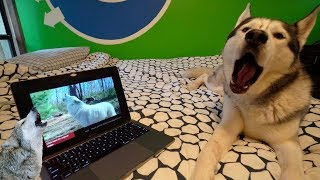 TRY NOT TO HOWL CHALLENGE  Will Husky Howl to Certain Noises?