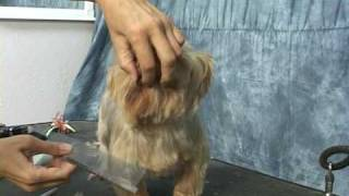 Yorkie grooming.  Learn how to groom a yorkie, yorkshire terrier,  at www.howtogroom.net thumbnail