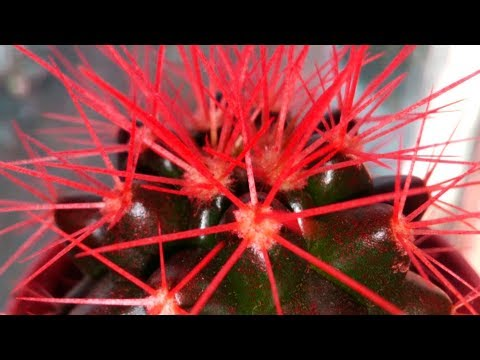 Осторожно кактус с красными иголками Проводим расследование