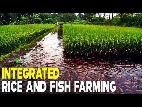 Integrated Rice And Fish Farming | RICE FISH FARMING
