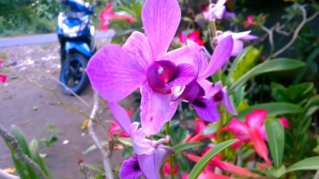 Unduh 91 Gambar Bunga Kamboja Ungu HD Terbaik