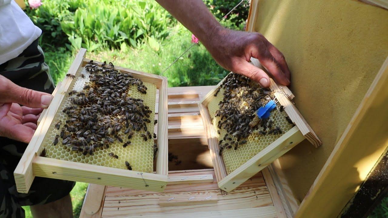 Проверка выхода пчеломаток из маточников | Матководство