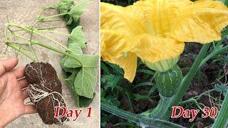 Cách trồng bí đỏ bằng phương pháp này ra quả ngay sau 30 ngày