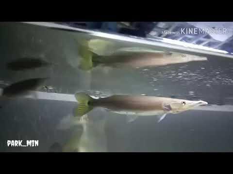 Hujeta Gar Aka Rocket Gar Eat Big Gold Fish