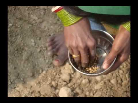 SWI Method of wheat sowing Hindi Pradan Madhyapradesh