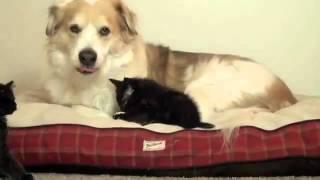 Спокойный пес и надоедливые котята