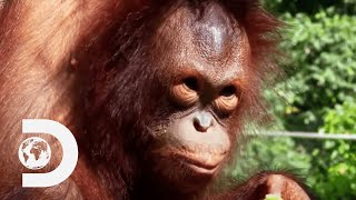 Young Orangutans Prematurely Attempt To Live In The Wild | Meet The Orangutans
