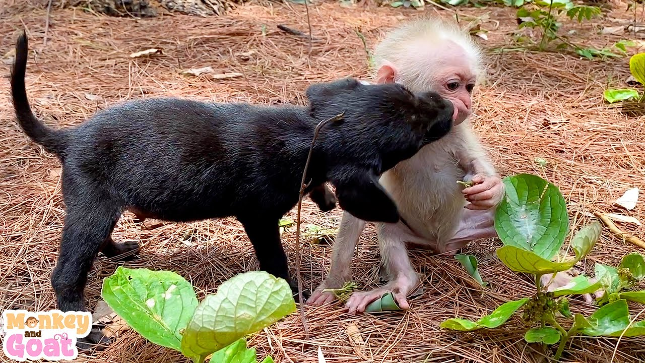 Baby monkey and puppies play relaxing fun