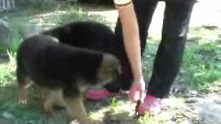 ジャーマンシェパードの子犬です。 セントラルドッグスク-ルでのびのび...