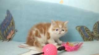 куплю экзотического короткошерстного котенка