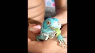 Video Hand feeding our baby blue iguana, Saphira download MP3, 3GP, MP4, WEBM, AVI, FLV Januari 2018