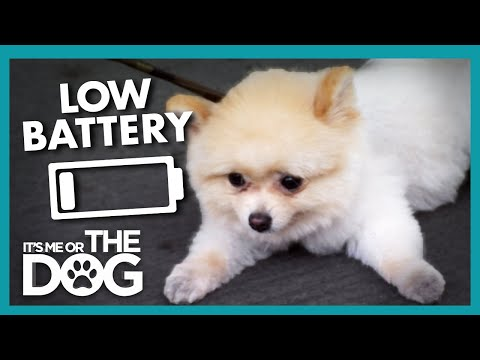 Peanut the Pomeranian Has No Energy For Walks | It's Me or the Dog