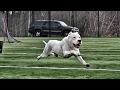 Dogo argentino yavru doğum anı . köpek doğumu