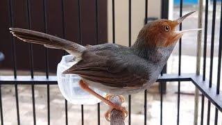 Suara Pikat Burung Prenjak Paling Ampuh | Download MP3 Masteran Perenjak Kepala Merah Klawu