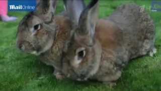 Кролик Гигант весом 25кг
