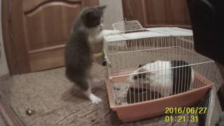 кот реагирует на морскую свинку