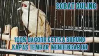 Download SUARA BURUNG KAPAS TEMBAK AMPUH UNTUK PANCINGAN, SUARA ISTIMEWA BURUNG KAPAS TEMBAK GACORRR