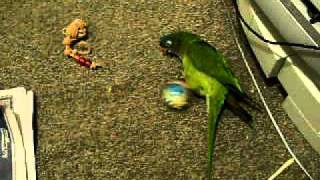 Blue Crowned Conure Playing