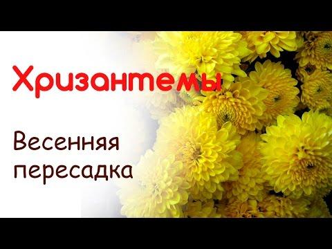 Хризантемы пересадка и размножение