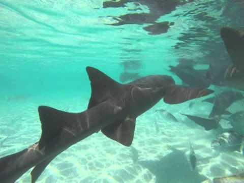 Swimming with Nurse Sharks in the Exuma Cays, Bahamas - YouTube on