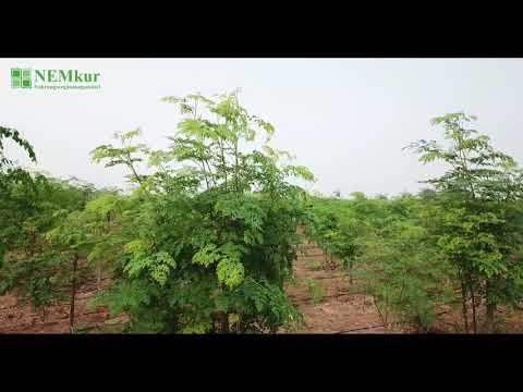 Nemkur Moringa Farm Gujarat India