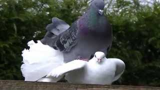 Male fantail pigeon kissing and mateing with female dove (2)