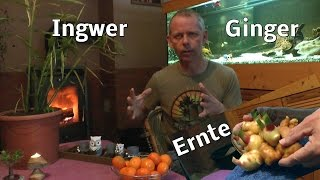 Ingwer Ernte