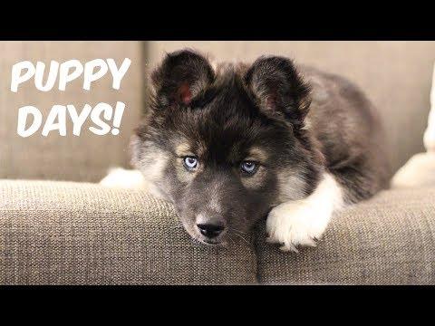 My Husky Kakoa As A Puppy!