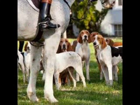 american foxhound dog in actions
