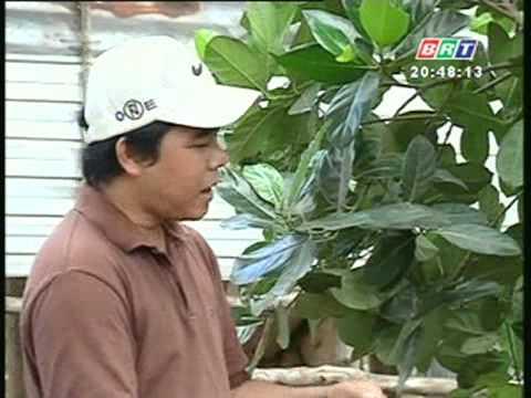 Khuyến nông 6 5 2012  Biện pháp phòng trừ ruồi đục trái mít siêu sớm