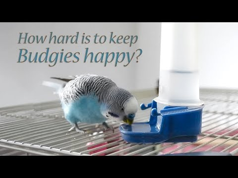 Budgie: What You Will Need to do for Your Budgie bird?