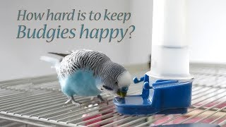 Budgie: What You Will Need to Take Care Budgie bird?
