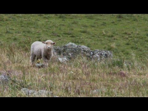 De las ovejas a coches de lujo, Uruguay pone a viajar su lana