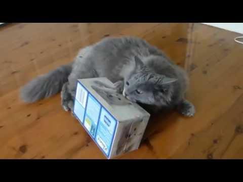 """Selkirk Rex cat, """"Regan"""" plays with tissue box. - Kimmaaay's Cat"""