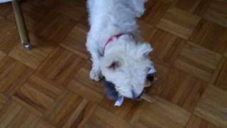 Westie Jake And His Squirrel