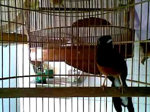 "White rumped shama in the mood "" Lao da"""