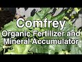 Comfrey an Organic Fertilizer and Mineral Accumulator you can Grow at Home