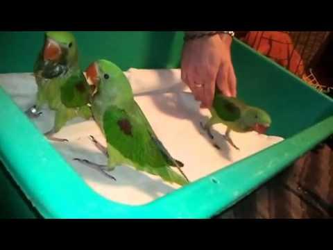 Игра сенегальского попугая и таксы - YouTube