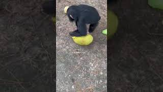 BABY CHIMP FINDING FRUIT