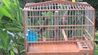 towa towa - Mick- Guyana birds