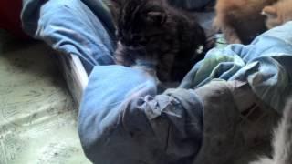 Котенки для Вас даром. Липецкая область. Чаплыгин, Липецк.
