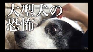 【恐怖】大型犬に寝込みを襲われてる映像【ボーダーコリー】 thumbnail