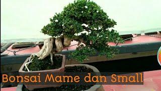 Pohon yang Cocok untuk Bonsai Mame dan Small