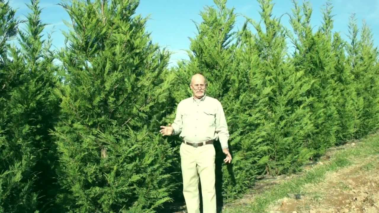 Leyland Cypress Evergreen Youtube